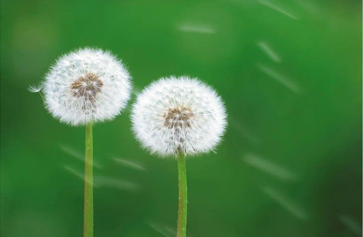 white dandelions blowing in wind