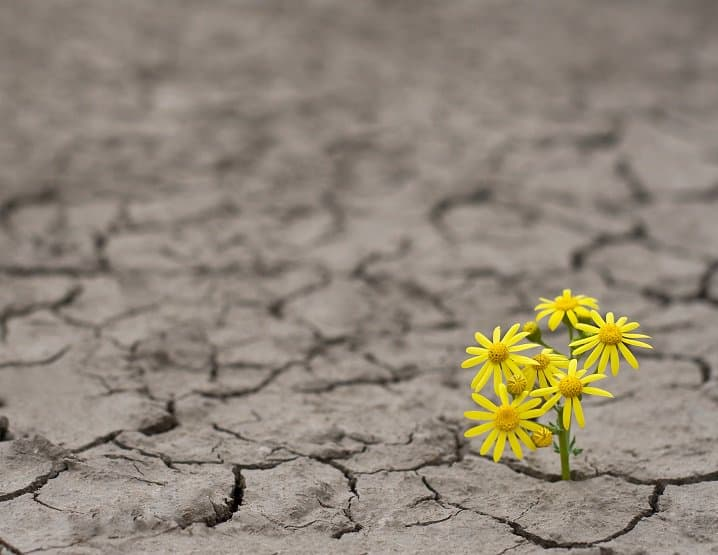 yellow flowers growing in cracked dry earth